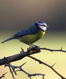 Beautiful Blue Tit. Stock Image