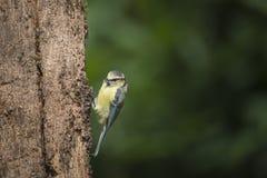 Beautiful Blue Tit Cyanistes Caeruleus on tree in woodland lands Stock Photo