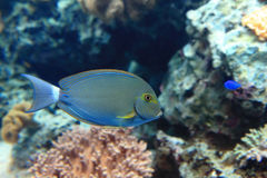 Beautiful blue tropical fish Royalty Free Stock Photography
