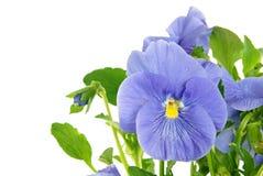 Beautiful blue viola Stock Photos