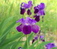Beautiful blue-violet Iris flowers in a garden stock images