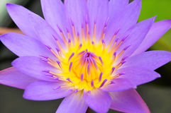 Beautiful blue water lily Royalty Free Stock Photo