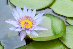 Beautiful blue water lily stock photography