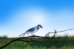 Blue bird on the branch under afternoon sky. Beautiful blue and white bird on the black branch over green field under afternoon sky Stock Photography
