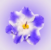 Beautiful  blue and white flower african violet isolated on gradient background. African violet head macro photo Stock Photos