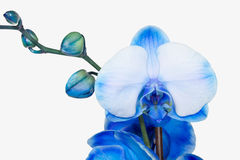 Blue orchid. Beautiful blue-white orchid isolated on white background Royalty Free Stock Photography