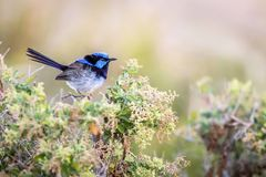 Beautiful Blue Wild Adult Male Superb Fairy Wren, Sunbury, Victoria, Australia, February 2019. Beautiful blue wild adult male Superb Fairy Wren perched on top of royalty free stock images