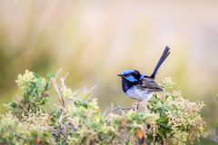 Beautiful Blue Wild Adult Male Superb Fairy Wren, Sunbury, Victoria, Australia, February 2019. Beautiful blue wild adult male Superb Fairy Wren perched on top of stock images