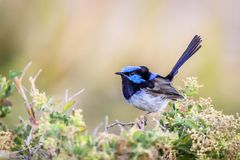Beautiful Blue Wild Adult Male Superb Fairy Wren, Sunbury, Victoria, Australia, February 2019. Beautiful blue wild adult male Superb Fairy Wren perched on top of royalty free stock photos
