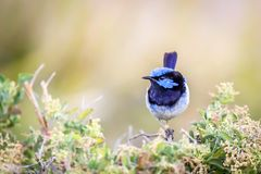 Beautiful Blue Wild Adult Male Superb Fairy Wren, Sunbury, Victoria, Australia, February 2019. Beautiful blue wild adult male Superb Fairy Wren perched on top of stock photos