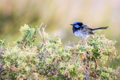 Beautiful Blue Wild Adult Male Superb Fairy Wren, Sunbury, Victoria, Australia, February 2019. Beautiful blue wild adult male Superb Fairy Wren perched on top of stock photo