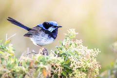 Beautiful Blue Wild Adult Male Superb Fairy Wren, Sunbury, Victoria, Australia, February 2019. Beautiful blue wild adult male Superb Fairy Wren perched on top of stock image