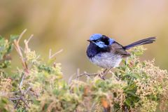 Beautiful Blue Wild Adult Male Superb Fairy Wren, Sunbury, Victoria, Australia, February 2019. Beautiful blue wild adult male Superb Fairy Wren perched on top of royalty free stock photography