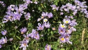 Beautiful, blue wild flowers on meadow. stock video footage