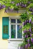 Beautiful blue wistaria Stock Photography