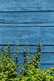 Beautiful blue wooden wall background with green plant Royalty Free Stock Photography