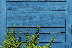 Beautiful blue wooden wall texture with green plant Stock Photography