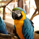 Beautiful blue and yellow macaw Royalty Free Stock Photography
