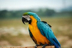 Parrots. A beautiful Blue and yellow macaw Parrots royalty free stock photography