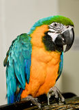 Parrot  sitting on cage. Royalty Free Stock Image