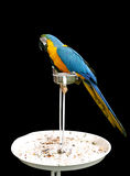 A beautiful blue and yellow Macaw on stand Stock Images
