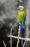 Macaw Beautiful sitting on branch Stock Images