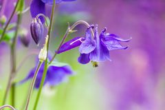Beautiful Bluebell Flowers with Blurry Background Stock Photography
