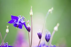 Beautiful Bluebell Flowers with Blurry Background Stock Image