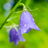 Beautiful bluebell flowers with rain drops on a green blur backg Stock Photography