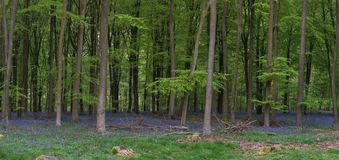 Stunning bluebell forest panoramic landscape image in soft sunlight in Spring. Beautiful bluebell forest panorama landscape image in morning sunlight in Spring royalty free stock photos
