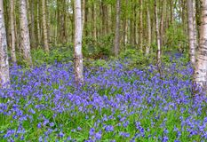 Beautiful bluebell woods. Royalty Free Stock Images