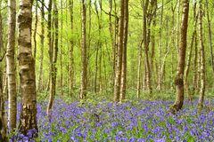 Beautiful bluebell woods. Stock Photo