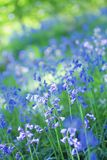 Beautiful bluebells close up Stock Photos