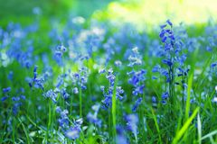 Beautiful bluebells close up Royalty Free Stock Photography