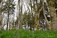 Beautiful bluebells in the forest Royalty Free Stock Images