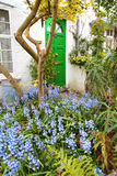 Beautiful bluebells garden in front of the house. In Spring time Royalty Free Stock Photo