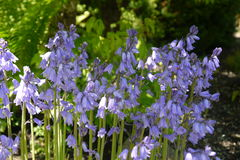 Beautiful Bluebells stock images
