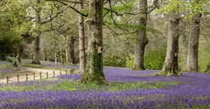 Beautiful Bluebell Wood, South Cornwall royalty free stock photos
