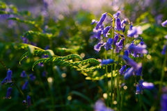 Beautiful bluebells in spring forest, natural background Stock Photos