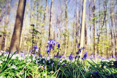 Beautiful bluebells in spring forest Stock Photo