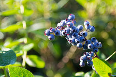 Beautiful Blueberry. Beautiful blue American Blueberry in the morning sun royalty free stock images