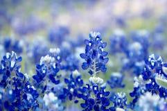 Beautiful bluebonnet field. Bluebonnet field in texas with blurry background stock images