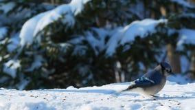 Beautiful bluejay bird on snow eating seeds on a sunny day - corvidae cyanocitta cristata