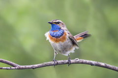 Beautiful Bluethroat bird on an old tree Stock Images
