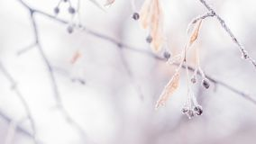 Free Beautiful Blurred Delicate Winter Frost Nature Background Banner. Ice Covered, Frost Leaves Close Up. Frosen Branch Of Tree Stock Images - 135630044