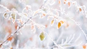 Beautiful blurred delicate winter frost nature background banner. Ice covered, frost leaves close up. Frosen branch of tree. Covered with first snow, copy space royalty free stock image