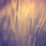 Beautiful blurred vintage color sunny barley field Stock Photo