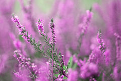Beautiful blurry autumn heather flowers background. Selective focus used Stock Images