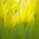 Beautiful blurry spring tulips flower Stock Photo