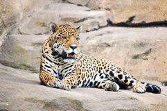 Beautiful body of young leopard Stock Images